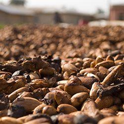 cacao fave essiccate