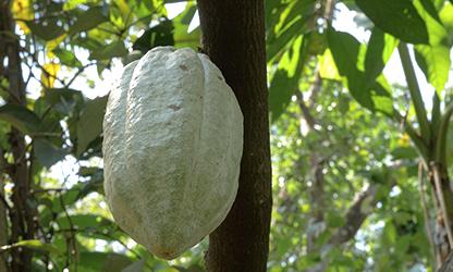 Cacao India